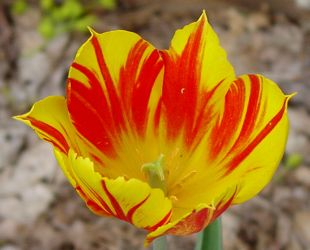[Broken Red Tulip with A Yellow Ground]