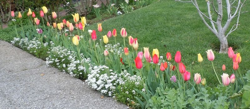 [a row of tulips]