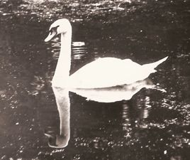 [Black-and-White picture; swan]